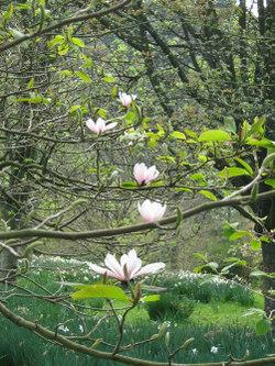 Magnolias_by_judy500_2