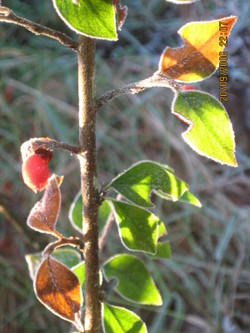 Frost_and_christmas_016
